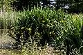 Iris lutea silvestris (14330457546).jpg