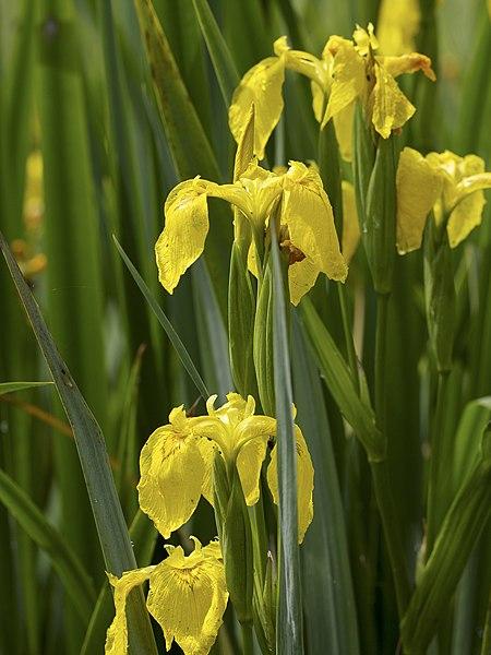 File:Iris pseudacorus LC0338.jpg