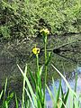 Iris pseudacorus Yellow flag iris in Hatfield Broad Oak Essex England 03.jpg