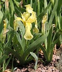Iris reichenbachii 01.jpg
