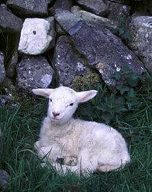 Irish Lamb Sitting.jpg
