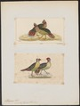 Ithaginis cruentus - 1700-1880 - Print - Iconographia Zoologica - Special Collections University of Amsterdam - UBA01 IZ17100005.tif