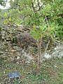 Ivan Vranetić tree.jpg
