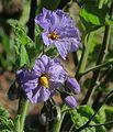 J20160317-0103—Solanum wallacei—RPBG (25644900570).jpg