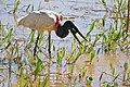 Jabiru (Jabiru mycteria) catching a big Apple Snail (Pomacea scalaris) (28750630322).jpg