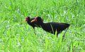 Jacana jacana - Flickr - Dick Culbert.jpg