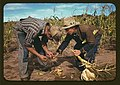 Jack Whinery and Jim Norris, homesteaders, looking at roots of stalk of corn, Pie Town, New Mexico (LOC).jpg