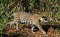 Jaguar (Panthera onca) female walking on the riverbank ... (48710542577).jpg