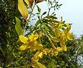 Jasminum humile, blomme, Manie van der Schijff BT, a.jpg