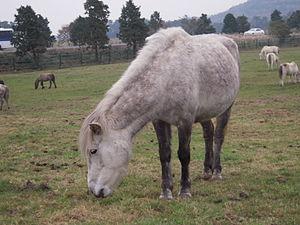 Jeju horse - Jeju horse grazing