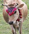 Jersey cattle in Sisdağı 02.jpg