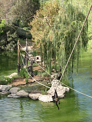 Jerusalem Biblical Zoo - A black-handed spider monkey swings on a rope over the artificial lake at the zoo