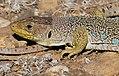 Jewelled Lizard (Timon lepidus) female (found by Jean NICOLAS) (37081361251).jpg