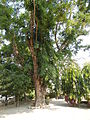 Jf9408Pterocarpus indicus Lubaofvf 14.JPG