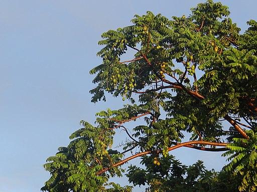 El árbol de Jobo cargado de frutos