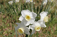 http://upload.wikimedia.org/wikipedia/commons/thumb/5/51/Jonquil_flowers_at_f32.jpg/230px-Jonquil_flowers_at_f32.jpg
