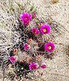Joshua Tree National Park - Hedgehog Cactus (Echinocereus engelmannii) - 10.JPG