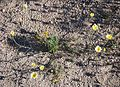 Joshua Tree National Park flowers - Malacothrix glabrata - 6.JPG