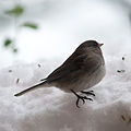 Junco hyemalis Hopewell Township NJ.jpg
