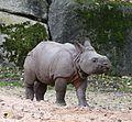 Junges Indisches Panzernashorn Puri Rhinoceros unicornis Tierpark Hellabrunn-7.jpg