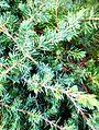 "Juniperus conferta""Blue Pacific""COSEUP.jpg"