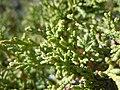 Juniperus scopulorum (5446050552).jpg