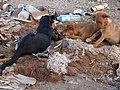 Junkyard Dogs, Essaouira (5235656562).jpg