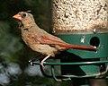 Juvenile Cardinal (4912711665).jpg
