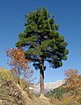 Kızılçam ağacı - Pinus brutia 02.JPG
