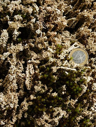 Travertine - Calcium-carbonate-encrusted, and growing moss, this is a travertine formation in low-temperature freshwater. The coin is for scale