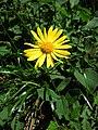Kamzičník rakúsky (Doronicum austriacum) 001.jpg