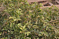 Kanju (Holoptelea integrifolia) leaves W IMG 1284.jpg