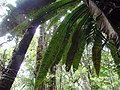 Kinabalu Park, Ranau, Sabah, Malaysia - panoramio (32).jpg