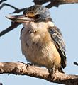 Kingfisher female (7225731336).jpg
