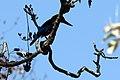 Kingfisher on the Tree.jpg