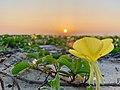 Kinmen Oenothera drummondii Hook.jpg