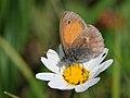 Kleines Wiesenvögelchen, Coenonympha pamphilus 7.jpg