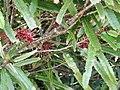 Knightia excelsa (foliage & flowers).jpg