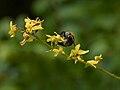 Koelreuteria paniculata F.jpg