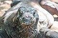 Komodo Dragon (Varanus Komodoensis).jpg