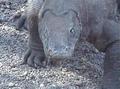 Komodo dragon staring.png