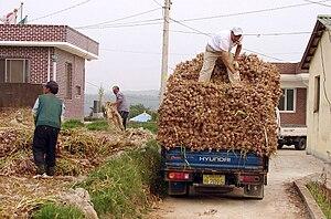 Korea-Goheunggun-Garlic harvest 4303-06.JPG