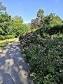 Koulupuisto, ruusupensaita.jpg
