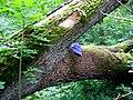 Královský dub v lese Bažantnici u Karolína - č. 4.jpg
