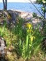 Kynsivesi Paskosaari flowers.JPG