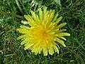 Löwenzahnblüte im Frühling0002.JPG