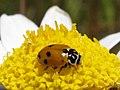 La mariquita de adonis - Hippodamia variegata (9119822789).jpg