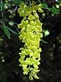 Laburnum × watereri, Venlo Floriade, Holland (9216111894).jpg