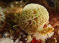Lace bryozoan.jpg