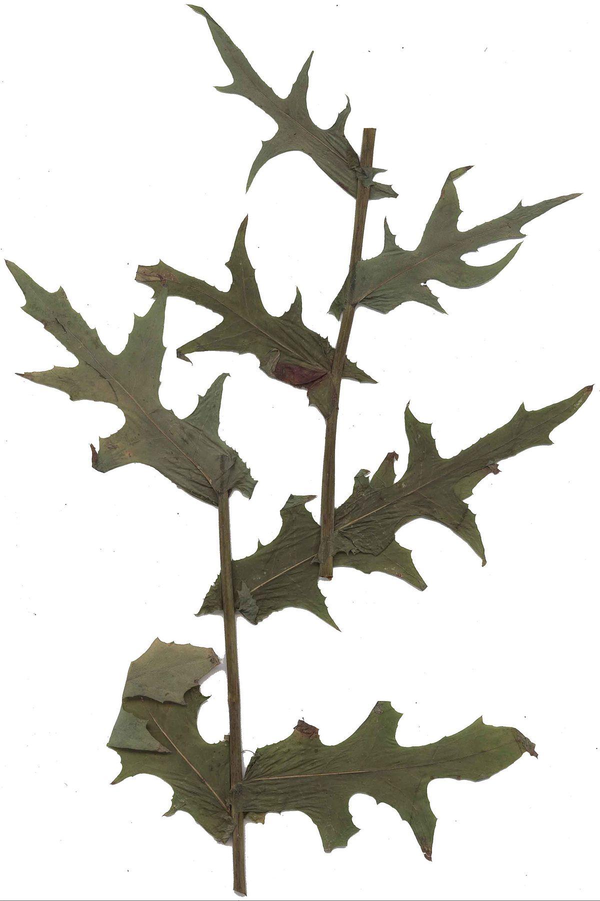 lactuca quercina